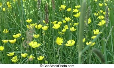 Buttercup flowers in meadow - Yellow buttercup flowers in...