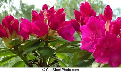 Red rhododendron - Opening red rhododendron buds in early...