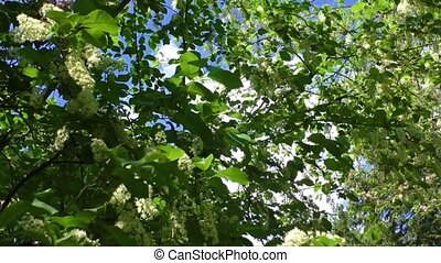 White flowering shrub in the spring