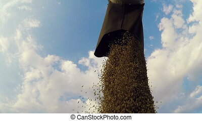 Combine harvester in action on wheat field, unloading grains...