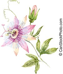 Watercolor passion flower