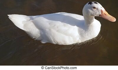 White goose floating on water against the current - White...