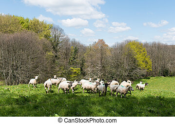 Shaved sheep - Herd shaved sheep in landscape