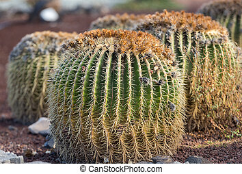 Echinocactus grusonii, popularly known as the golden barrel...