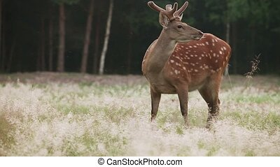 Early morning in the forest - Spotted deer grazing on the...