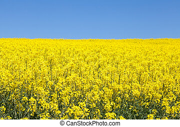 Vibrant yellow rapeseed field under a clear sunny blue sky,...