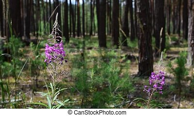 Chamerion angustifolium flowers in pine forest