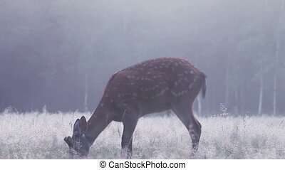 A deer in a thick fog at dawn - Spotted deer grazing in the...