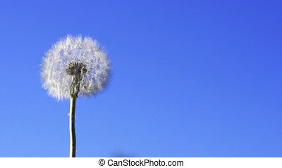 Dandelion seeds flying in the blue sky Slow motion