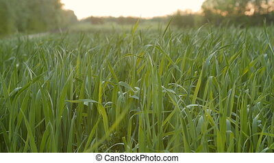 Cultivated field of young green wheat in the morning. Dolly...