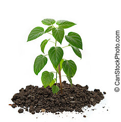 Young pepper seedling growing in soil
