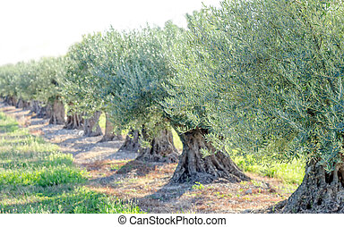 olive trees - a row of olive trees