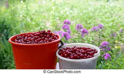 Freshly picked cherries - Happy boy treats freshly picked...