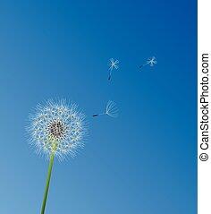 dandelion white - vector dandelion flower