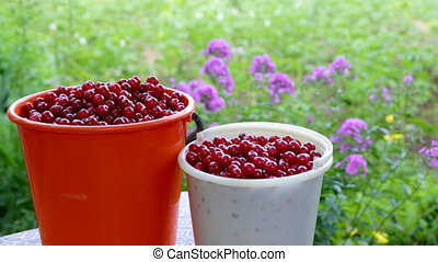 Buckets with freshly picked cherries awaiting transport
