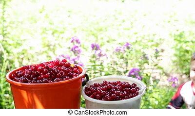 Happy boy treats freshly picked cherries from bucket