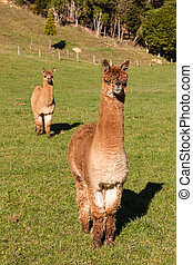 two curious suri alpacas standing in paddock