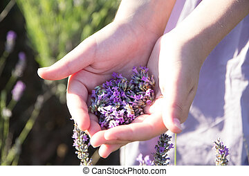 lavender in female hands