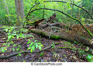 Deciduous stand of Bialowieza Forest rain after in summer -...