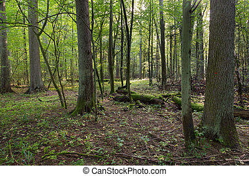 Narrow path crossing mixed stand of Bialowieza Forest in...