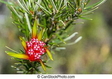 Mountain devil (Lambertia formosa) blossoming, close up