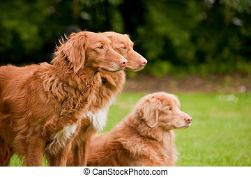 tolling retrievers - three beautiful rare breed nova scotia...