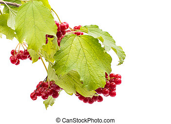 branch of viburnum on a white background
