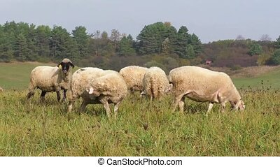 Flock of sheep breeding