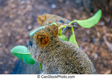 Quokka eating tree branches - Quokka, native australian...