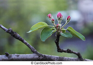Buds of young apple trees - Nice view of the blooming sprig...
