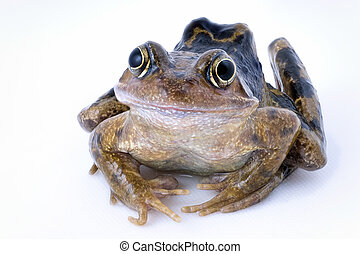 Rana temporaria - Common frog, rana temporaria, isolated on...