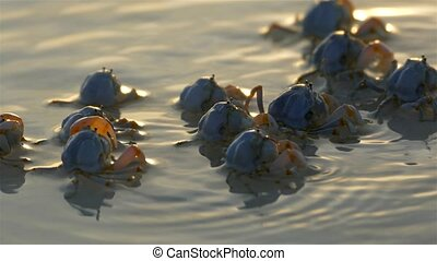 Crabs On The Beach in Sunrise Light, Bohol, Philippines