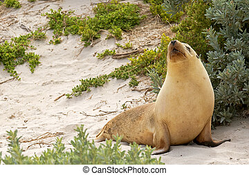 Sleepy moment for Australian Sea Lion resting on warm sand...