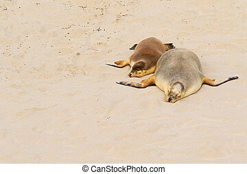 Two Australian Sea Lions sleeping on warm sand at Seal Bay,...