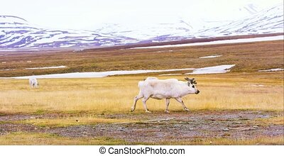 Reindeer walking in the arctic landscape of Svalbard -...