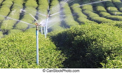 Automatic water sprinkler on organic tea farm in action...