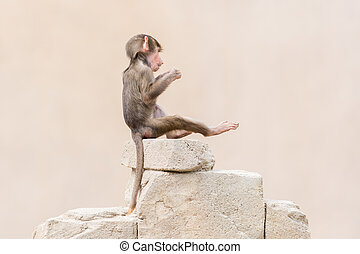 Baby baboon learning to eat through play, big piece of...