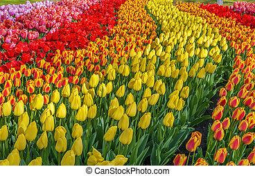 flowerbed with tulips in Keukenhof garden, Netherlands