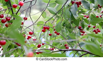 Branch of cherry tree full of ripe berries