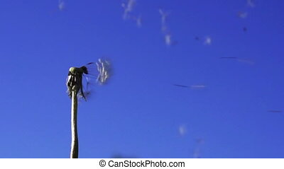 Dandelion seeds flying in the blue sky. Slow motion