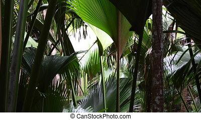 Palm tree forest, Praslin island - Wild palm tree forest,...