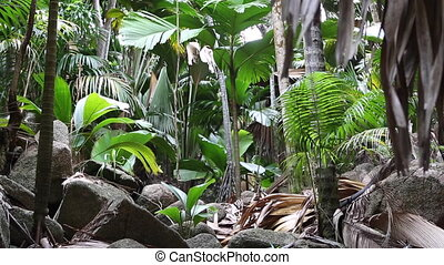Wild palm tree forest at Praslin - Wild palm tree jungle at...