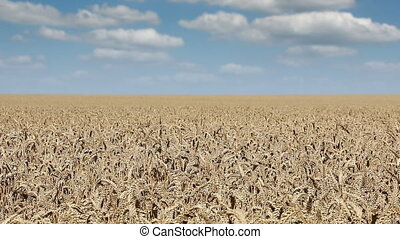 wheat field landscape