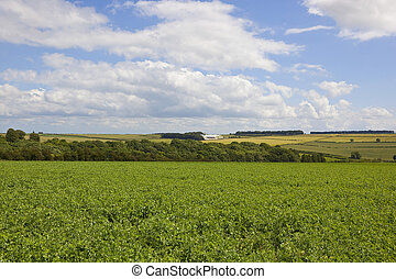 yorkshire wolds pea fields - scenic pea fields with hills...