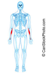the flexor carpi radialis - medically accurate illustration...