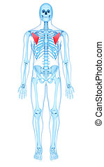 the pectoralis minor - medically accurate illustration of...