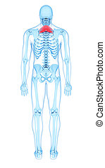 the serratus posterior superior - medically accurate...
