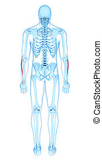 the extensor carpi radialis longus - medically accurate...