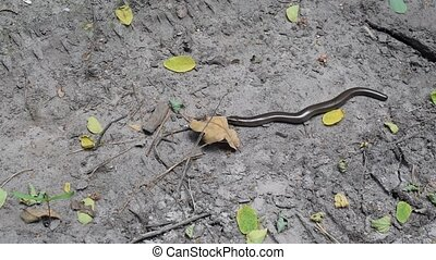 Smooth snake, Coronella austriaca in natural environment.