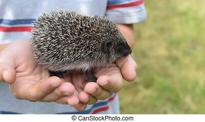 Small young hedgehog in human hands - Small young agile...